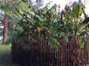 Comment protéger bananier froid jardin