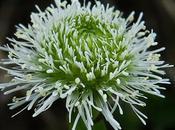 Globulaire (Globularia bisnagarica)