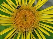 Inule feuilles saule (Inula salicina)