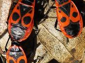 Punaise rouge, Gendarme (Pyrrhocoris apterus)