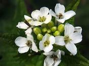 Alliaire (Alliaria petiolata)