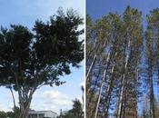Entre figuier pins, bleu ciel