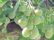 Graine feuille Ginkgo Biloba