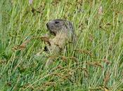 marmotte tarier prés