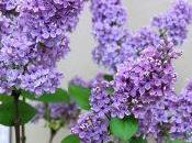 Comment planter lilas dans votre jardin