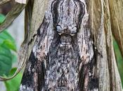 Sphinx liseron (Agrius convolvuli)