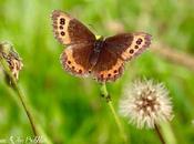 papillons fleurs