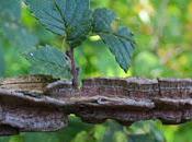 Orme champêtre écorce subéreuse (Ulmus minor var. suberosa)