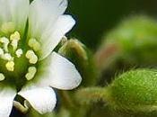 Céraiste sables (Cerastium semidecandrum)