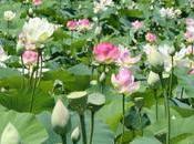Guide fleur Lotus signification symbolique