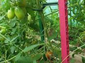 dangers Tomato brown rugose fruit virus (ToBRFV)