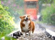 Combien temps durent chaleurs d'une chienne