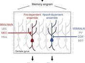 #Cell #mémoire #neurones Ensembles Neuronaux Distincts sein Engrammes Mémoire