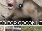 Thailande travail singes, lait noix coco boyocotés marques occidentales