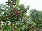 Pomme, pomme, c'est début récolte pommes