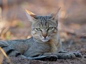 chat carnivore strict… qu'est-ce implique pour alimentation