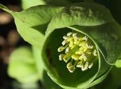 Hellébore fétide (Helleborus foetidus)