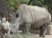 rhinocéros grand mammifère herbivore