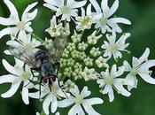 Berce spondyle (Heracleum sphondylium)